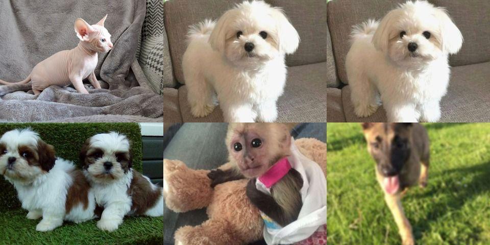 Shih Tzu Puppies For Sale Pets Rehoming Goodyear Az Shihtzulover Shihtzus Shihtzunation Shihtzulovers Shiht In 2020 Shih Tzu Puppy Shih Tzu Shih Tzu Lover