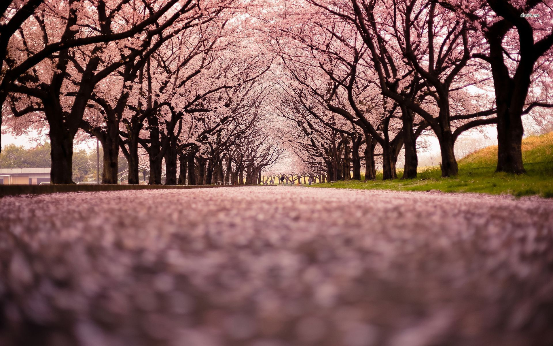 Cherry Trees In Bloom Japan Cherry Blossom Wallpaper Cherry Blossom Background Cherry Blossom Tree
