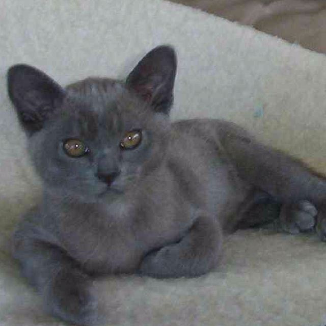 Blue Burmese Kitten Burmese Kittens Cute Cats And Dogs Burmese Cat