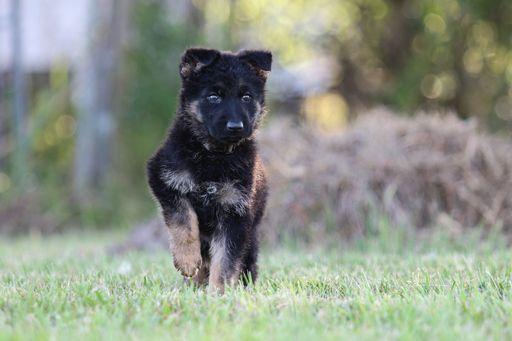 German Shepherd Dog Puppy For Sale In Duson La Adn 29045 On