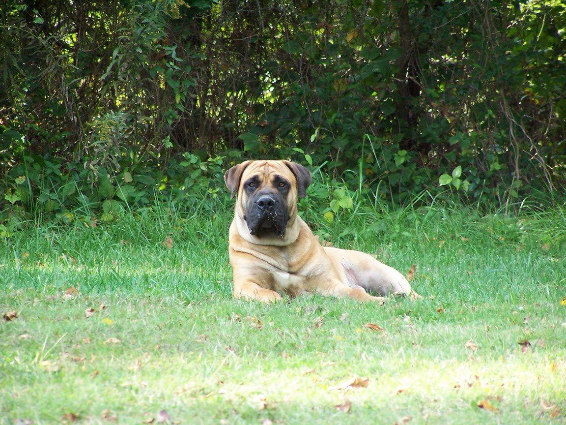 خلفيات كلب بوير بويل Dogs, Animals