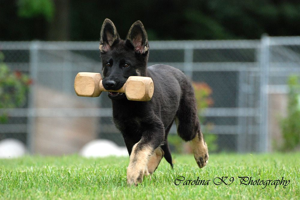 German Shepherd Puppies Dc Metro Area Frederick Maryland
