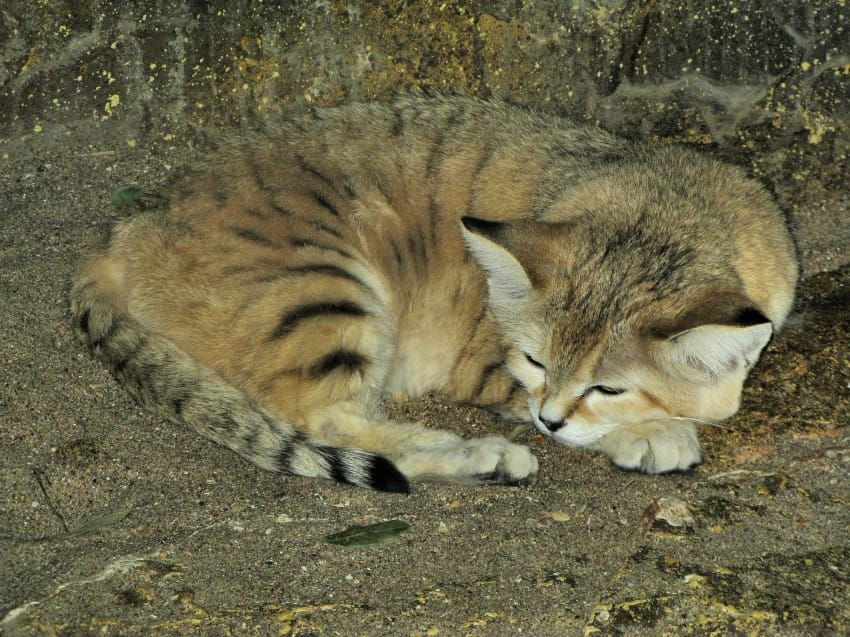 Strange Little Cat Is Captured On Camera For The First Time In 10 Years Sand Cat Cats Small Wild Cats
