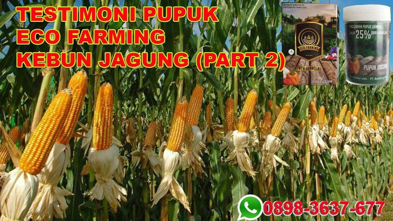Testimoni Demplot Eco Farming Pada Tanaman Jagung Umur 60 Hari Tanaman Jagung