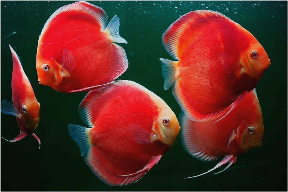 Photo Gallery Of Discus Fish Live Tropical Fish Live Tropical Fish In 2020 Discus Fish Fish Oscar Fish
