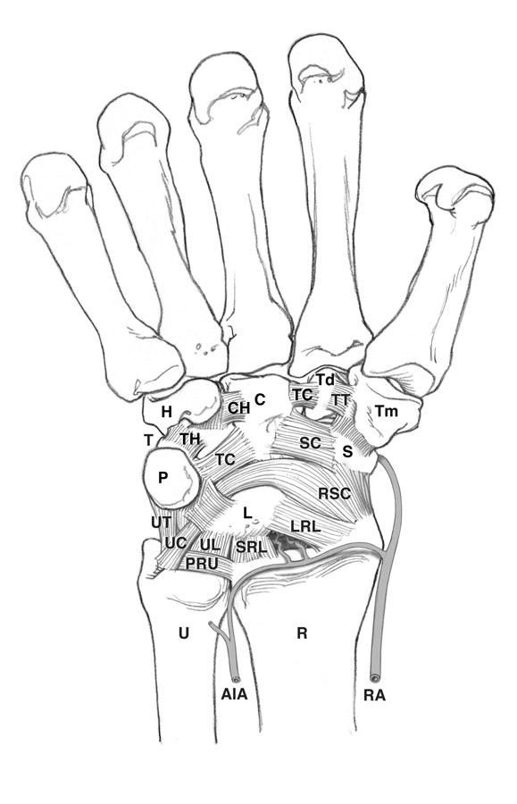 Simpler Drawing With Wrist Ligaments And Bones Labelled Anatomy