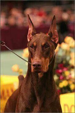 Doberman Doberman Pinscher Dog Doberman Dogs Doberman