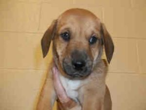 A926692 Nicodemus A926693 Nakita Litter Of Puppies Kern Urgent Is An Adoptab Anatolian Shepherd Dog Australian Cattle Dog Blue Heeler Anatolian Shepherd