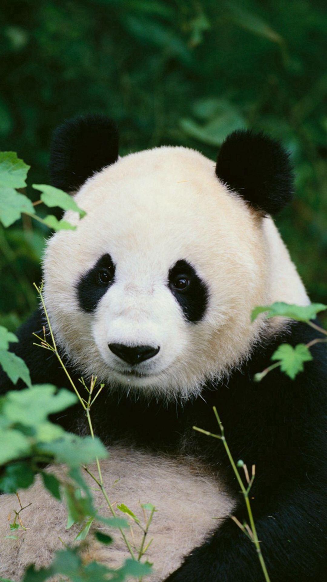 Panda Woods Nature Iphone 6 Wallpaper Download Iphone Wallpapers Ipad Wallpapers One Stop Download Panda Images Cute Panda Wallpaper Panda Wallpapers