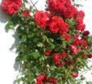 Trucs 100 naturels pour avoir de beaux rosiers la - Rouille rosier traitement naturel ...