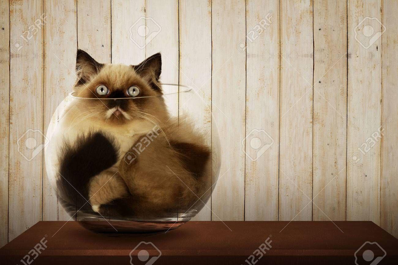 Stock Photo Cute Persian Cat Inside Glass Bowl Cat Names Beautiful Cats Pictures Cute Cat Gif