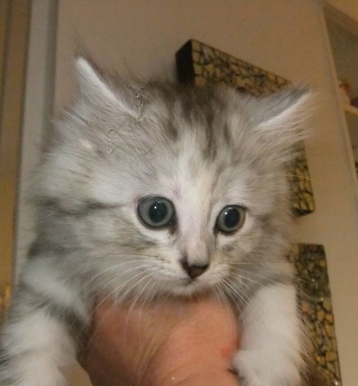 calico maine coon kittens Google Search Animals