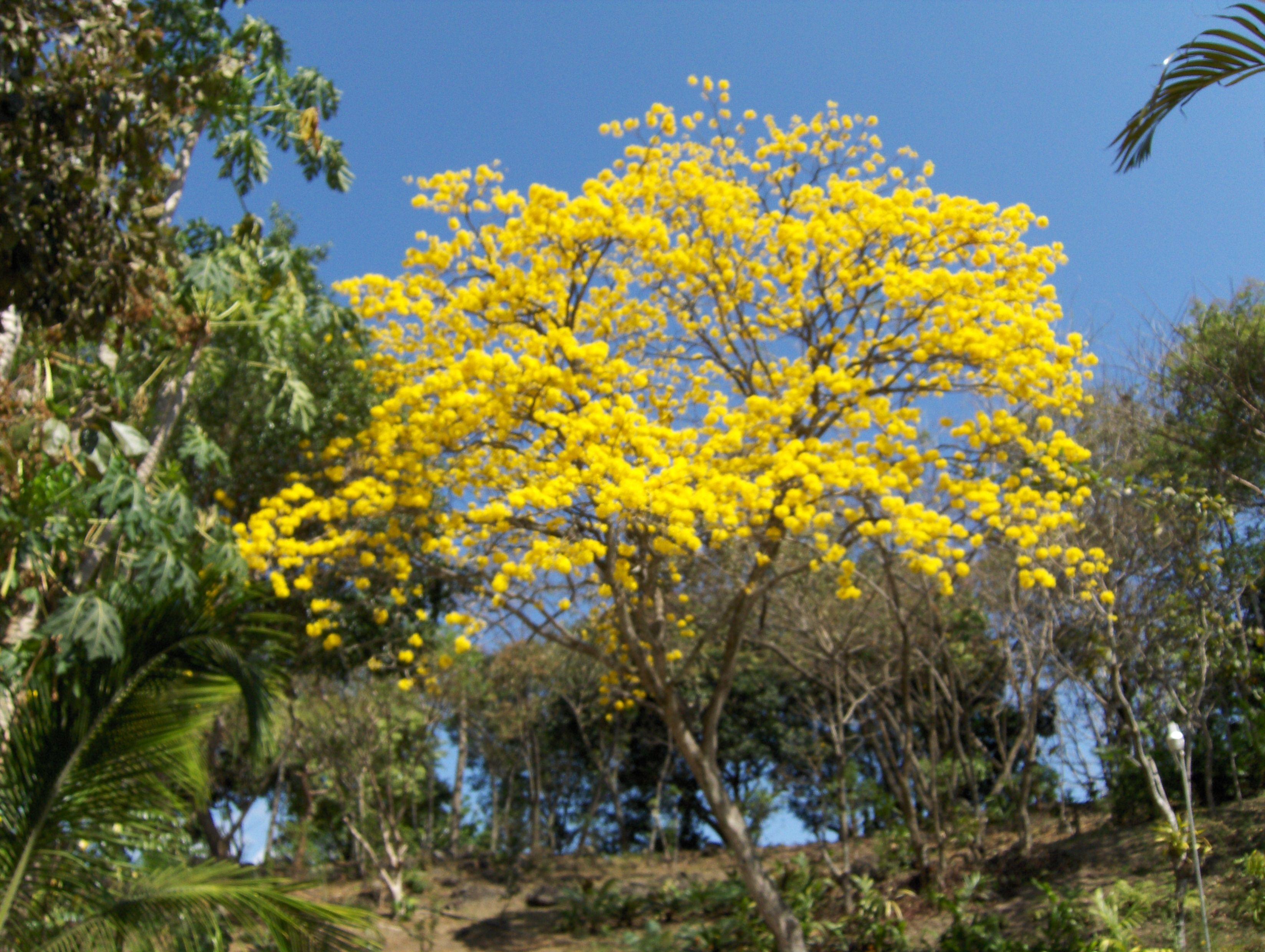 Arbol de corteza amarilla