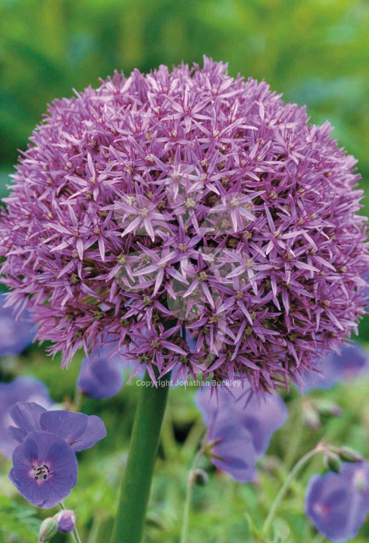 Allium Globemaster Allium Flowers Allium Plants