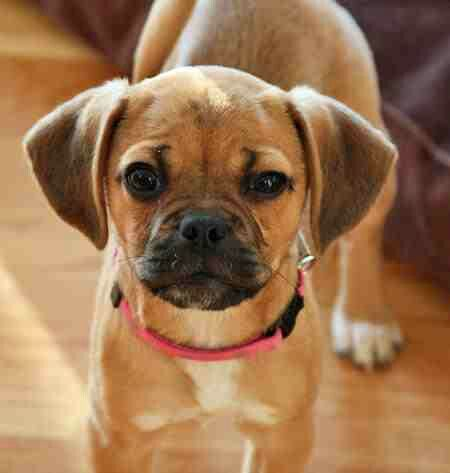 How Can You Get Upset With That Face Puggle Puppies