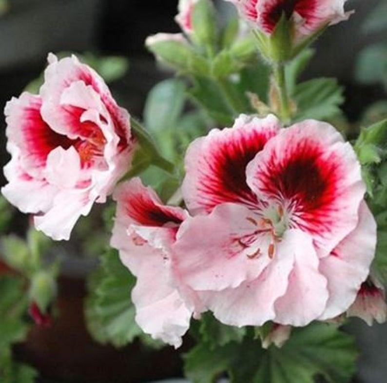 geraniums  10 seeds