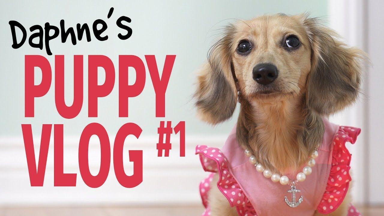 Ep 7 It S A Daphne Day Cute Dachshund Puppy Vlog Youtube