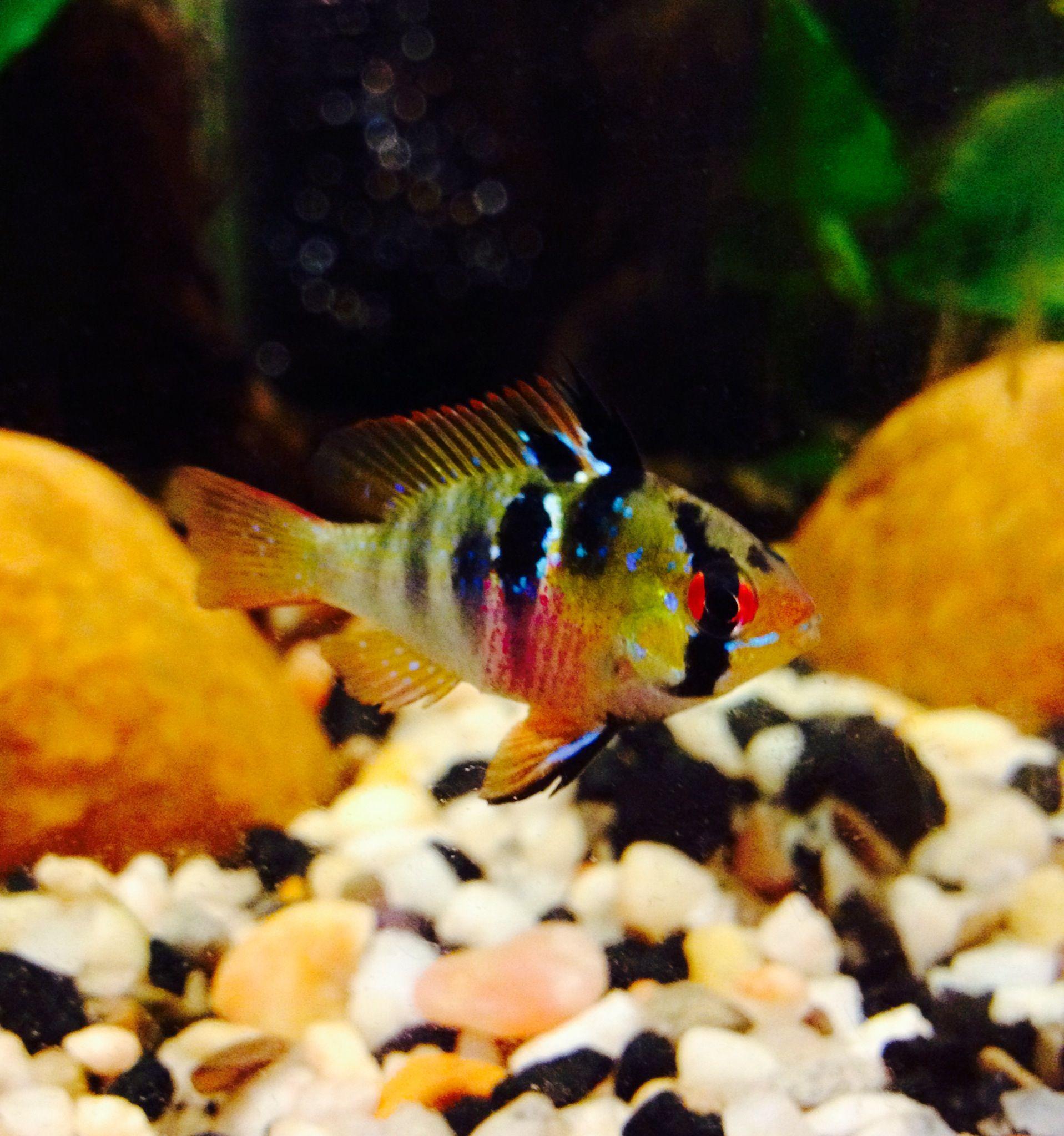 German Blue Ram Aquarium Fish Cichlids Tropical Fish