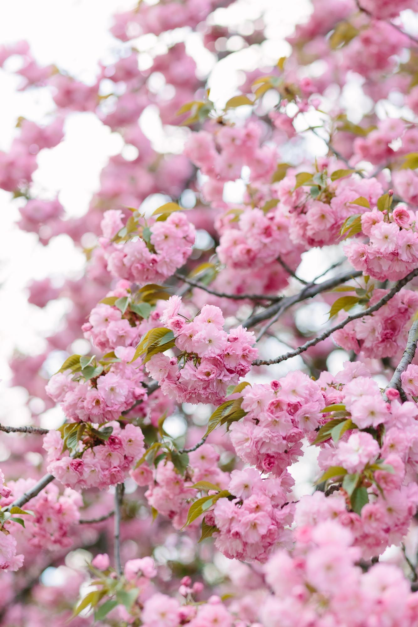 Cherry Blossoms Upper East Side Nyc Guide York Avenue Spring Blossom Blossom Cherry Blossom Season