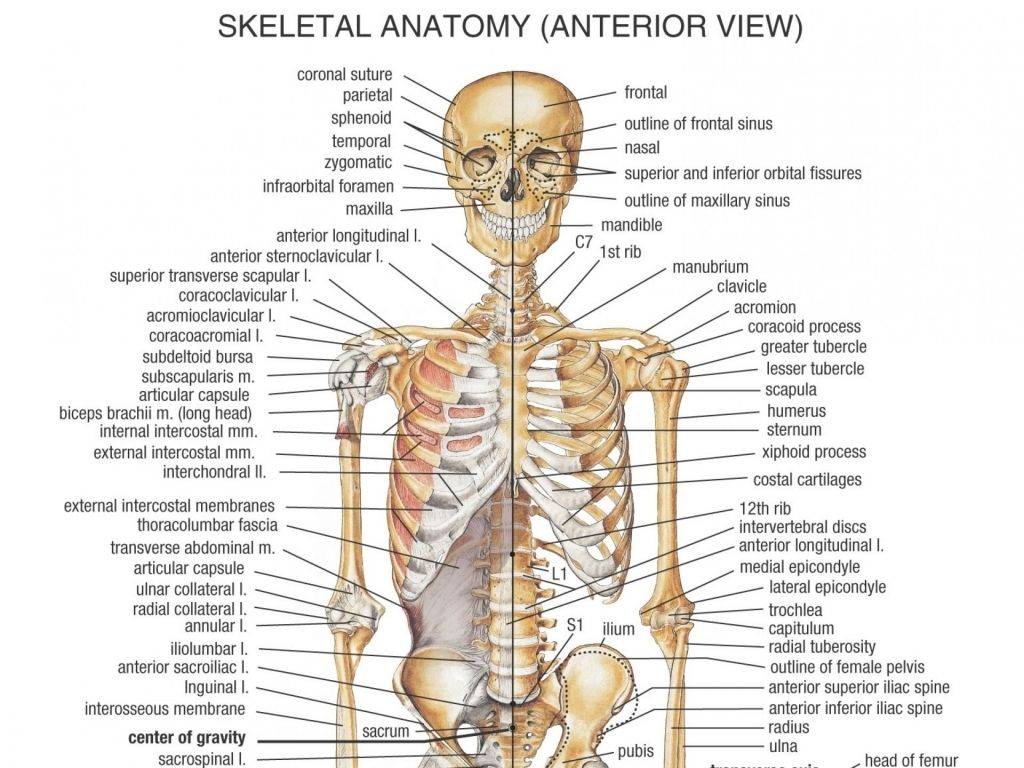 Chest Bones Diagram Chest Bones Anatomy Diagram Of Human Body Bones