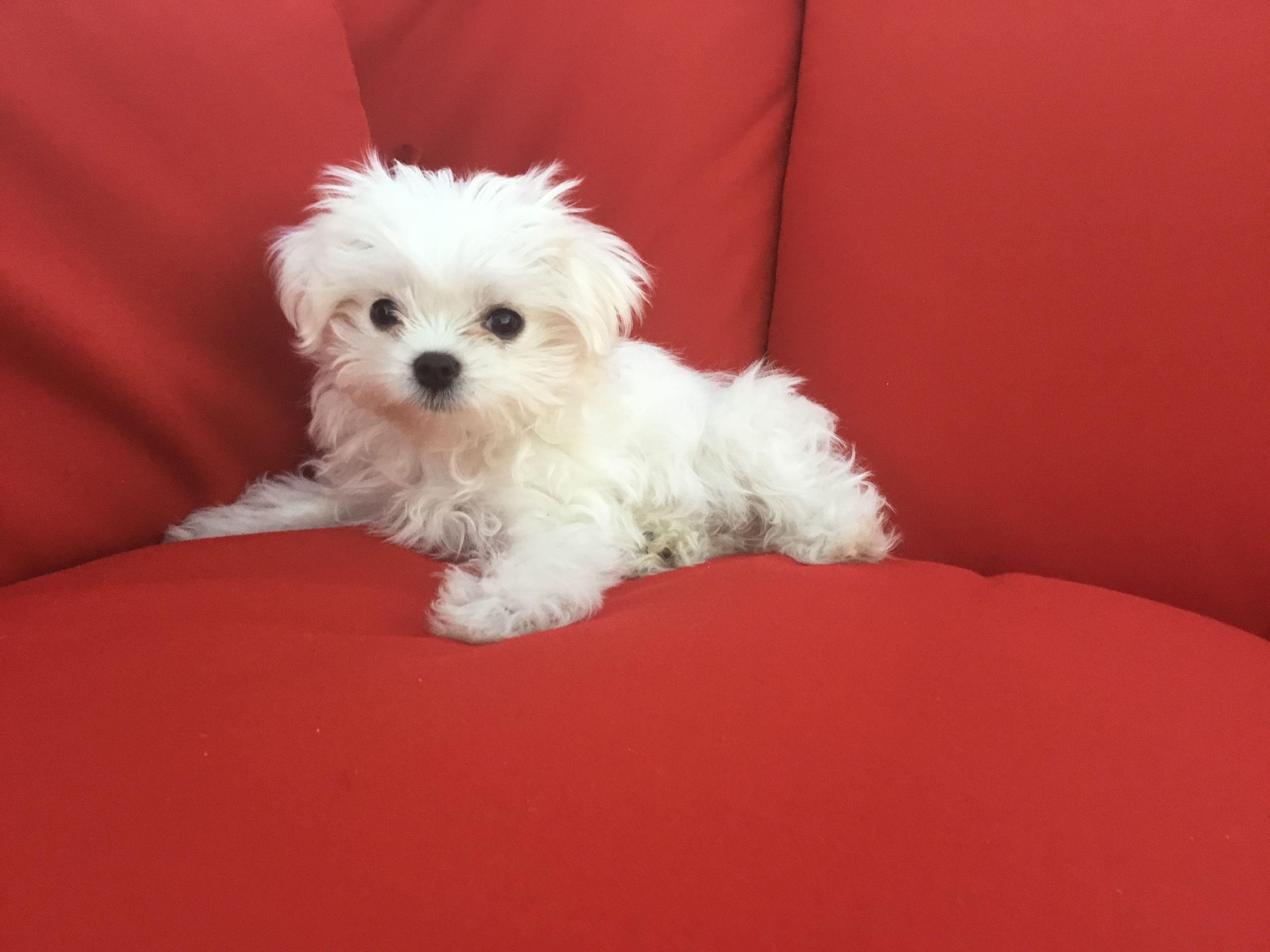 Stella Maltese Dogs Maltese Puppy Cute Animals