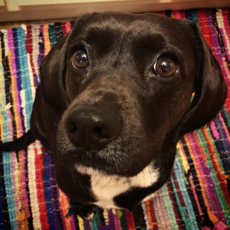 19 Labradors Mixed With Cocker Spaniel Cocker Spaniel Mix Dog Breeds Labrador Retriever