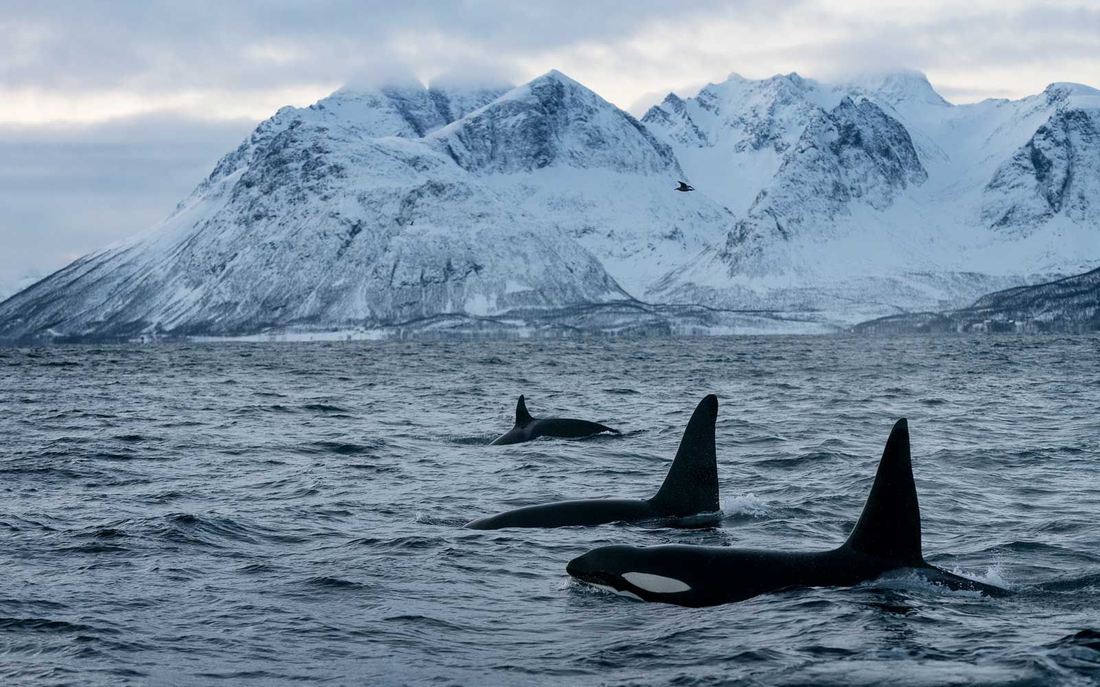 Image Result For Great Orca Fjords Of Norway See The Northern Lights Orca Safari Adventure