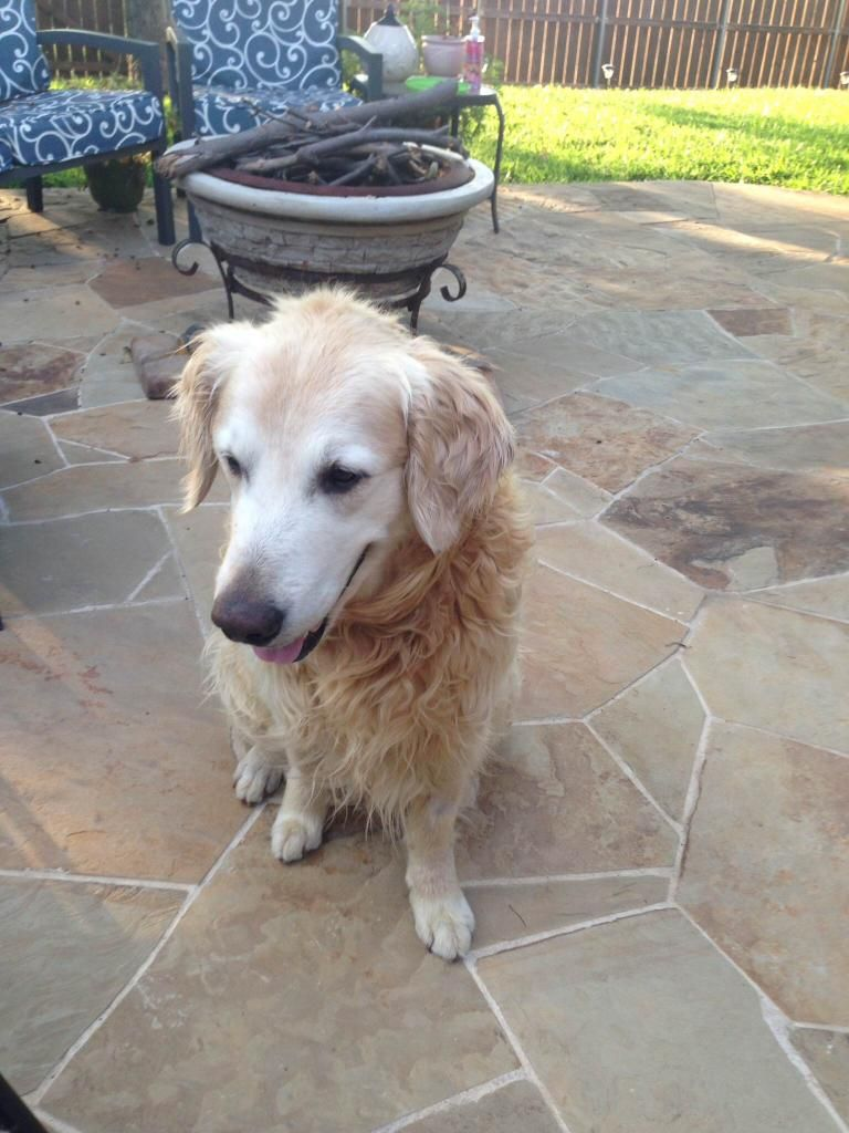 Spike is a 6 year old Golden. To read about him go to http