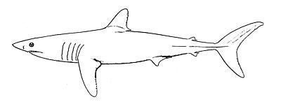 Mako Shark Animal Drawings Drawings Shark Drawing