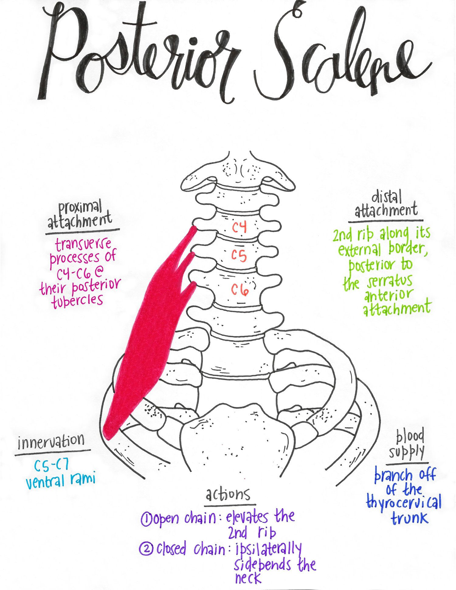 Muscular Anatomy 101 A Full Set Of Drawn Muscles With