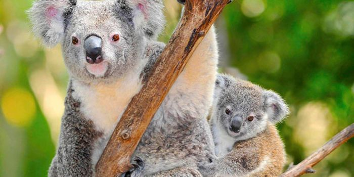 Two Men Beat And Burned A Koala Alive And Were Only Sentenced To