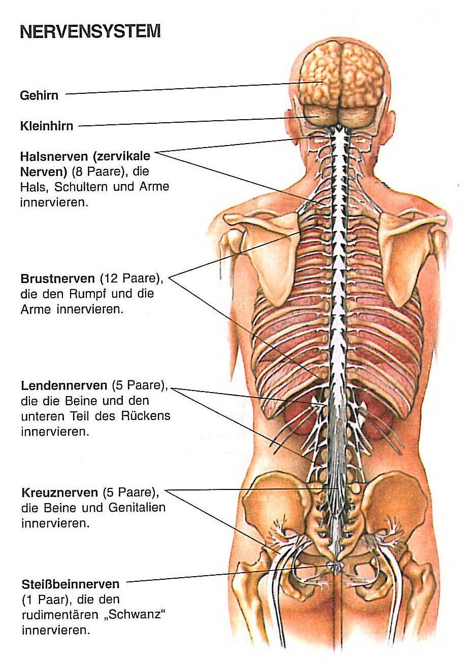 nerven | ANATOMY | Pinterest | Anatomy