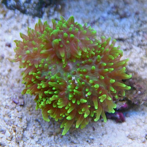 Frilly Mushroom Saltwater Fish Tanks Soft Corals Saltwater Aquarium