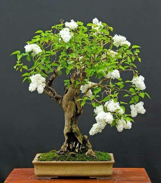 Can you believe-a bonsai lilac! Love it!