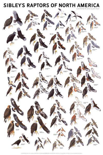 Raptors Of North America Sibley Sibley Guide To Birds Raptors