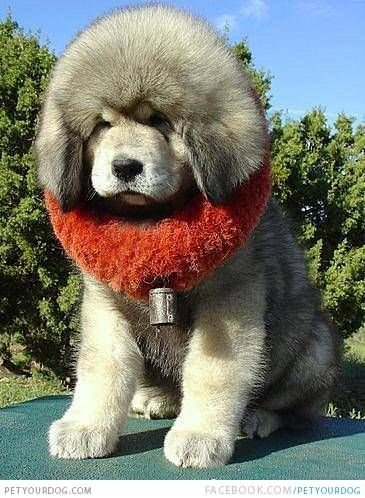 Cute White Tibetan Mastiff Puppy Puppy With A Big Red Collar