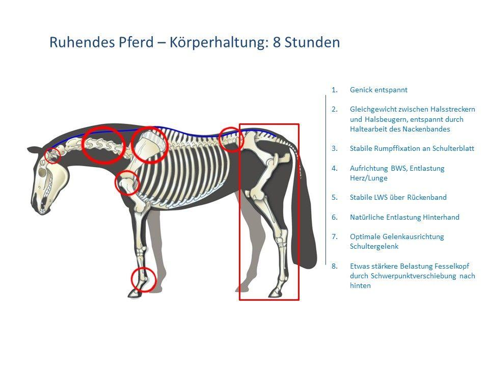 Gemütlich Pferd Anatomie Der Wirbelsäule Bilder - Menschliche ...