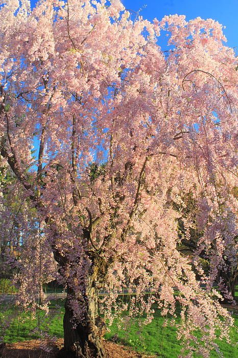 Flowering Cherry Tree Arnold Arboretum Harvard University Cambridge Ma Flowering Cherry Tree Arboretum Tree Hugger