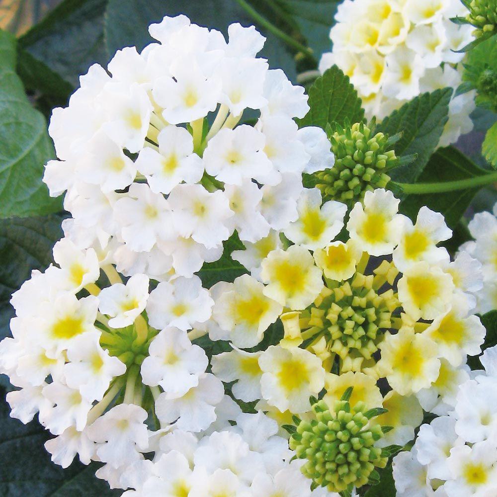 For pots Buy Lantana Esperanta White J Parker Dutch