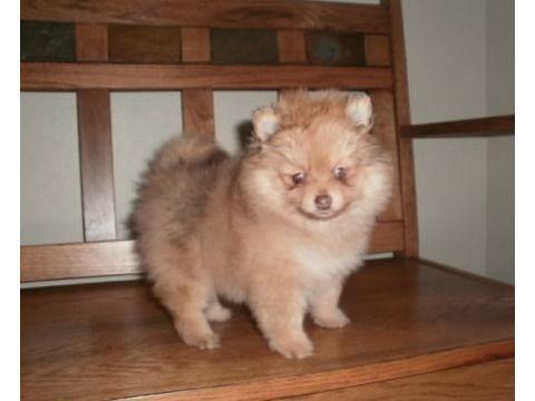 CHGGHGHF Stunning quality pom puppies