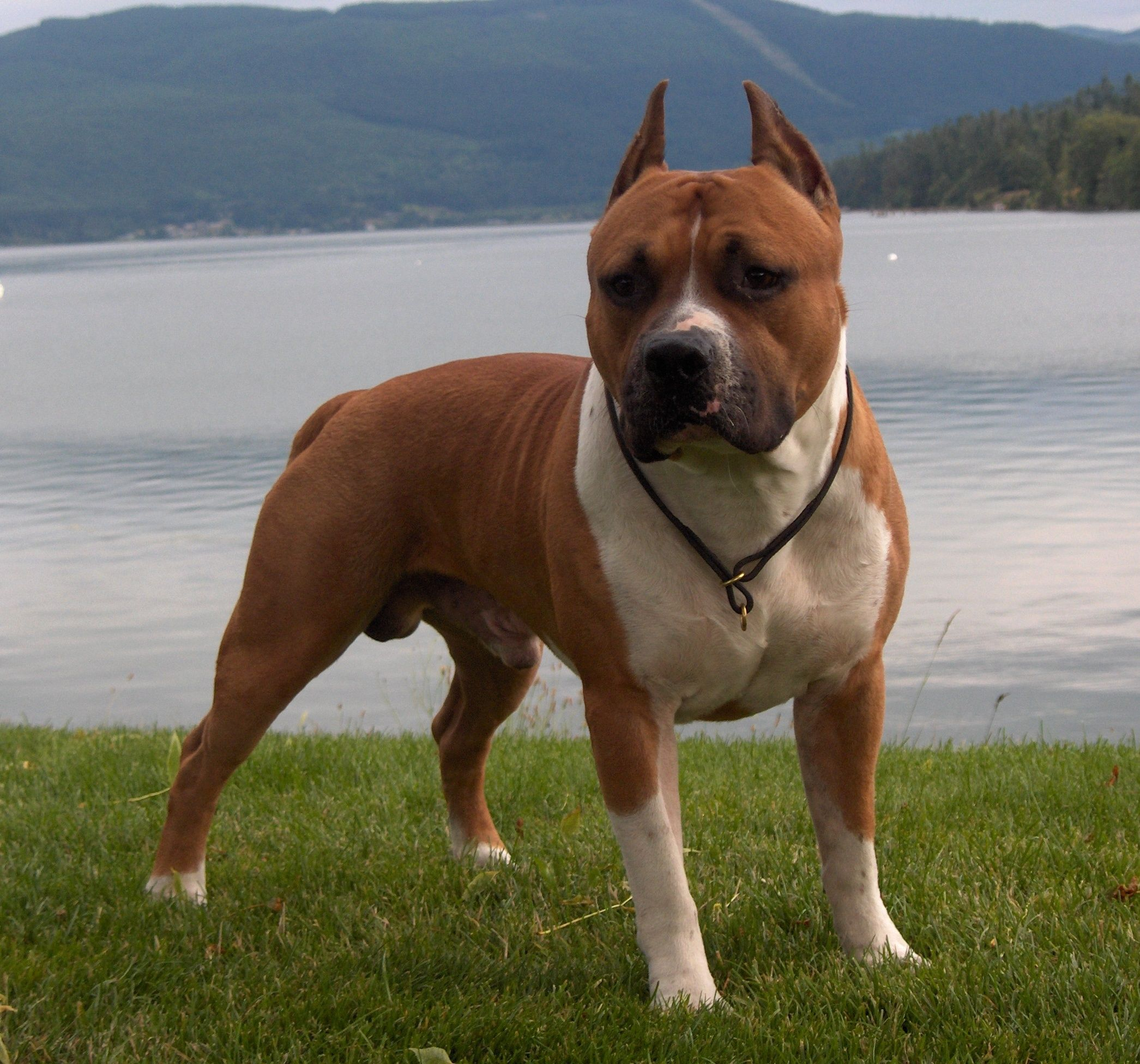 American Staffordshire Terrier Pitbull Dog Pictures American