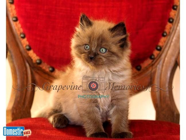 Ragdoll Kittens For Sale In Dfw Area We Have Beautiful Ragdoll