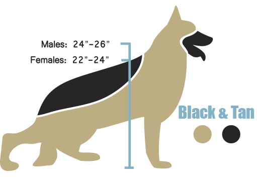 The American Line German Shepherd Height And Weight Infograph