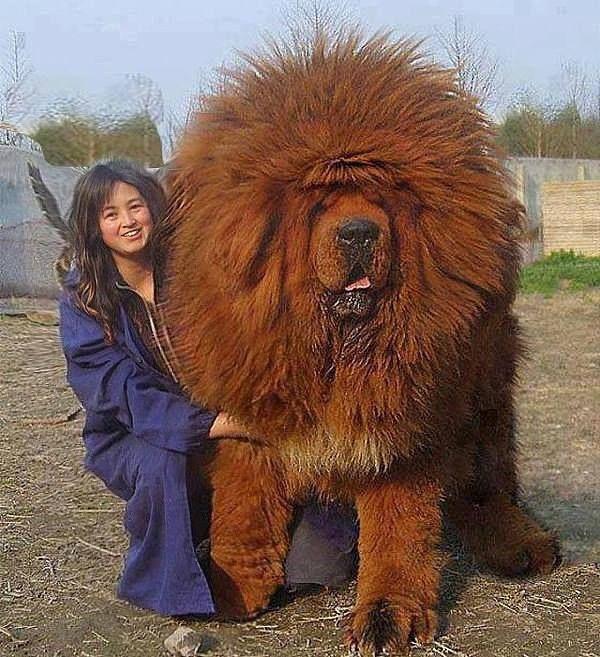тибетские собаки породы