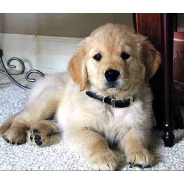So Cute Retriever Puppy Cute Animals Dogs