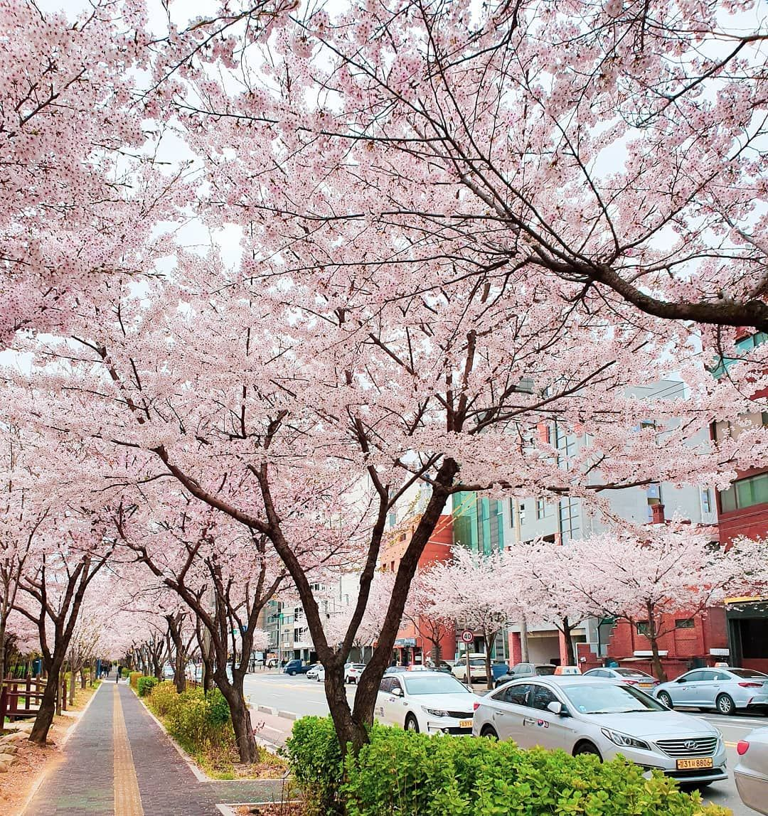 Cherry Blossoms Neighborhood In Seoul Cherryblossoms Seoul Southkorea Springinseoul Pink Showers Instagram Outdoor