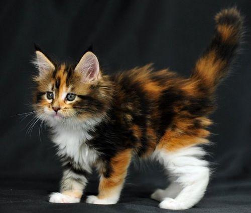 What A Sweet Calico Kitten Kittens Cutest Cute Cats Beautiful