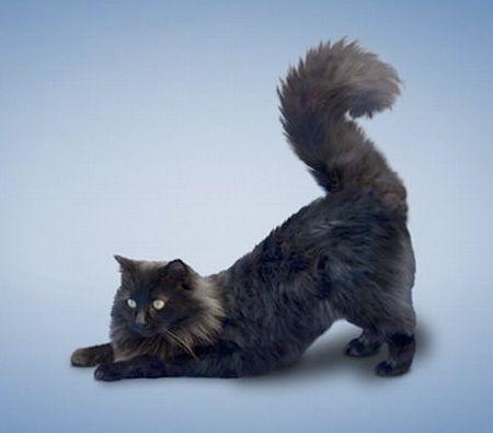 downward dog cat  yoga cats  cat yoga