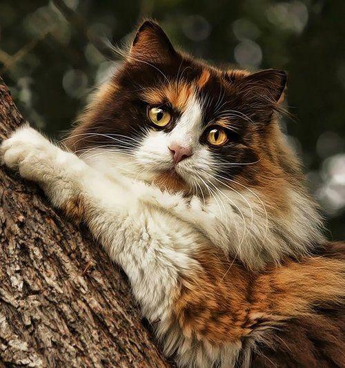 ...Norwegian forest cat