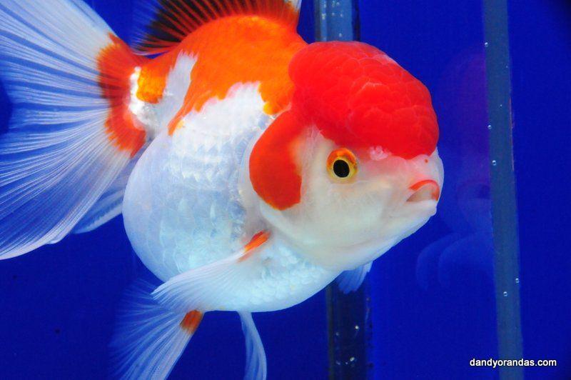 Red White Oranda Dandyorandas Com Freshwater Aquarium Fish Aquarium Fish Oranda Goldfish